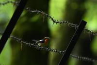 キビタキ06月05日 - 旧サンヨン野鳥撮影放浪記