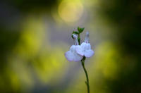 白いセージの花 - RANDOM SHOT Ⅱ