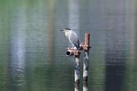 沼のササゴイとオオヨシキリ - 銀狐の鳥見