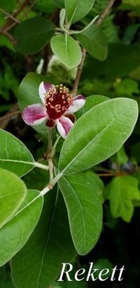 お花も実も楽しめるフェィジョア~♥ - インテリア&ガーデンSHOP rekett