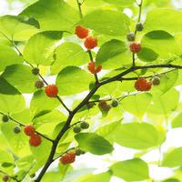 ヒメコウゾとクワの果実 - 自然観察大学ブログ