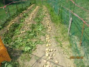 ジャガイモの収穫 -