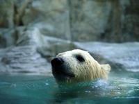 泳ぐフブキ - 動物園放浪記
