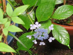 夏の風物詩、「紫陽花」二題。 - 京都の骨董&ギャラリー「幾一里のブログ」