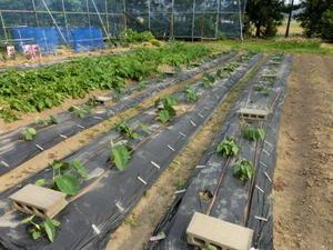 野菜の初収穫 -