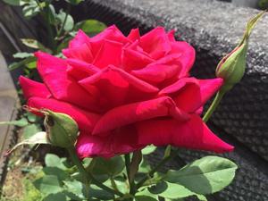 赤バラ白バラそして音楽 - バラやらナンやら