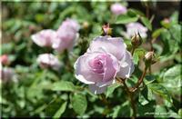 六月の薔薇 - 北海道photo一撮り旅