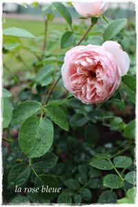 'ワイルド・イブ'の二番花 - La rose 薔薇の庭