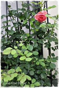 'ボスコベル'の二番花が始まりました - La rose 薔薇の庭