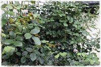 わさわさと茂ってきた'ザ・ミル・オン・ザ・フロス'の二番花 - La rose 薔薇の庭