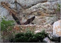 今年のハヤブサ(2021)-9巣から出て来た幼鳥 - 野鳥の素顔 <野鳥と日々の出来事>