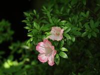 吉祥寺の花たち(2) ~いろいろ~ (2021/6/7撮影) - toshiさんのお気楽ブログ