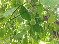 大豊作の梅でシロップ作り♡ - つれづれ日記Ⅱ