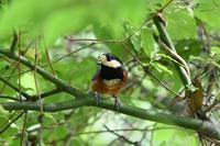 森の鳥さん&紫陽花 - 鳥と共に日々是好日③
