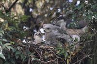 オオタカ白無垢の雛と メス親 - 気まぐれ野鳥写真