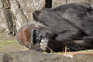 ニシゴリラ「ローラ&モンタ」~ありがとうボルネオオランウータン「フトシ」(千葉市動物公園 November 2020) - 続々・動物園ありマス。