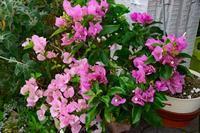 6月中旬の庭の花 - ひな日記