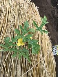 スイカの花が咲きました。 - ワクワク♪ハマっ子野菜作り♪