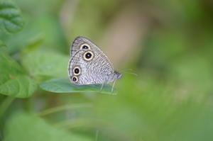 ウラナミジャノメ6月12日 - 超蝶