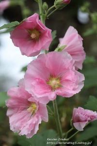 庭の立葵(タチアオイ)再び - 風の彩りー3