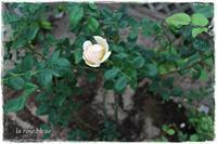 'ウォラトン'を南庭へ移動 - La rose 薔薇の庭