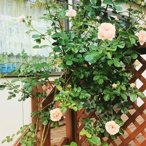 バラの季節🌹アフターコロナにしたいこと - きがみ ピアノ教室