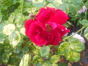 赤い花 - どっこいSHOW