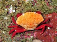チリメンベニオウギガニ葉山オーバーハングActiomera erythra (Lanchester, 1902) - 葉山の美味しいダイビング生活