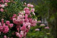 わが家の庭から(薔薇の花) - きょうから あしたへ その2