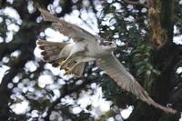オオタカ子育て中のお父さん - 気まぐれ野鳥写真