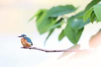 カワセミ - 北の野鳥たち