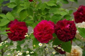 *今朝と夕方の薔薇* -