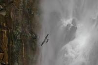 滝にハヤブサ - 『彩の国ピンボケ野鳥写真館』