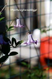 ベティーコーニング 二番花 - 花と風の薫り