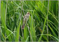 葦原のオオヨシキリ - 野鳥の素顔 <野鳥と日々の出来事>