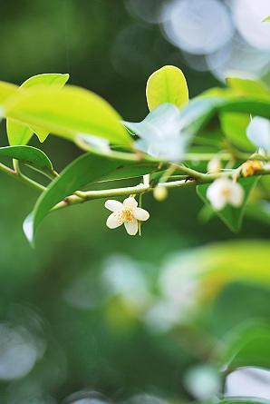 6/13 榊の花とドクダミの海 - 「あなたに似た花。」