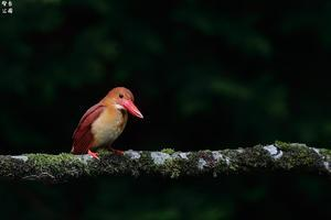 十二湖のアカショウビン - 野鳥公園