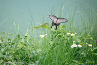 麝香鳳蝶【ジャコウアゲハを追いかけて】 - kawanori-photo