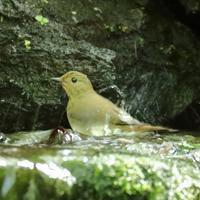 野鳥の水浴びシリーズ。第2弾は、キビタキのメスです - 旅プラスの日記
