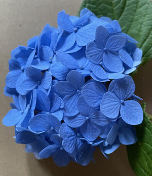 今年の紫陽花のおまじないの紫陽花です~♪ - こんばんは!のんちゃんです