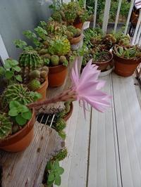 サボテンの花と - hanasdiary.exblog.jp