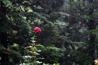 雨に打たれる薔薇 - RANDOM SHOT Ⅱ