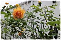 'レディ・オブ・シャーロット'の二番花は少ない - La rose 薔薇の庭