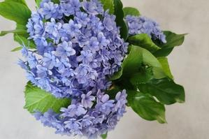 Our home hydrangea - Good Morning, Gorgeous.