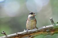これは.....ヤマガラ幼鳥 と サンコウチョウ - 新  鳥さんと遊ぼうⅡ
