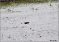 田圃をスイスイツバメが飛んでる - 野鳥の素顔 <野鳥と日々の出来事>
