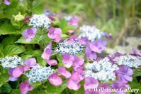撮りたて花だより_アジサイ - 花と風景の写真集_撮りたて花だより