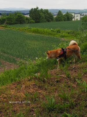 農道散歩フランス菊だって !? -