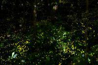 姫蛍 - Capu-photo Digital photographic Laboratory