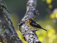 お山のキビタキたち(ベランダにて) - トドの野鳥日記